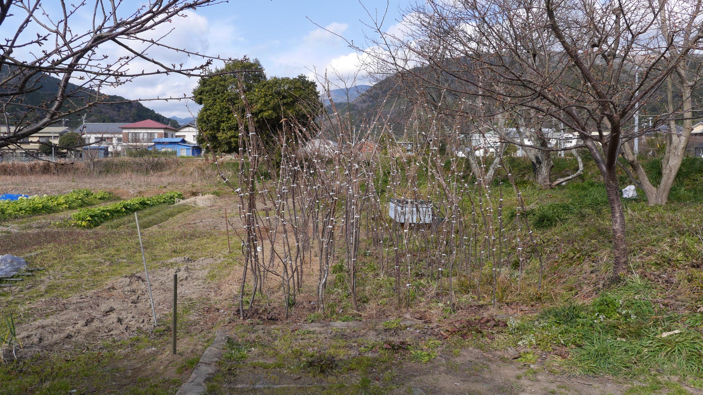 オオシマザクラに河津桜を接ぎ木して苗を作る