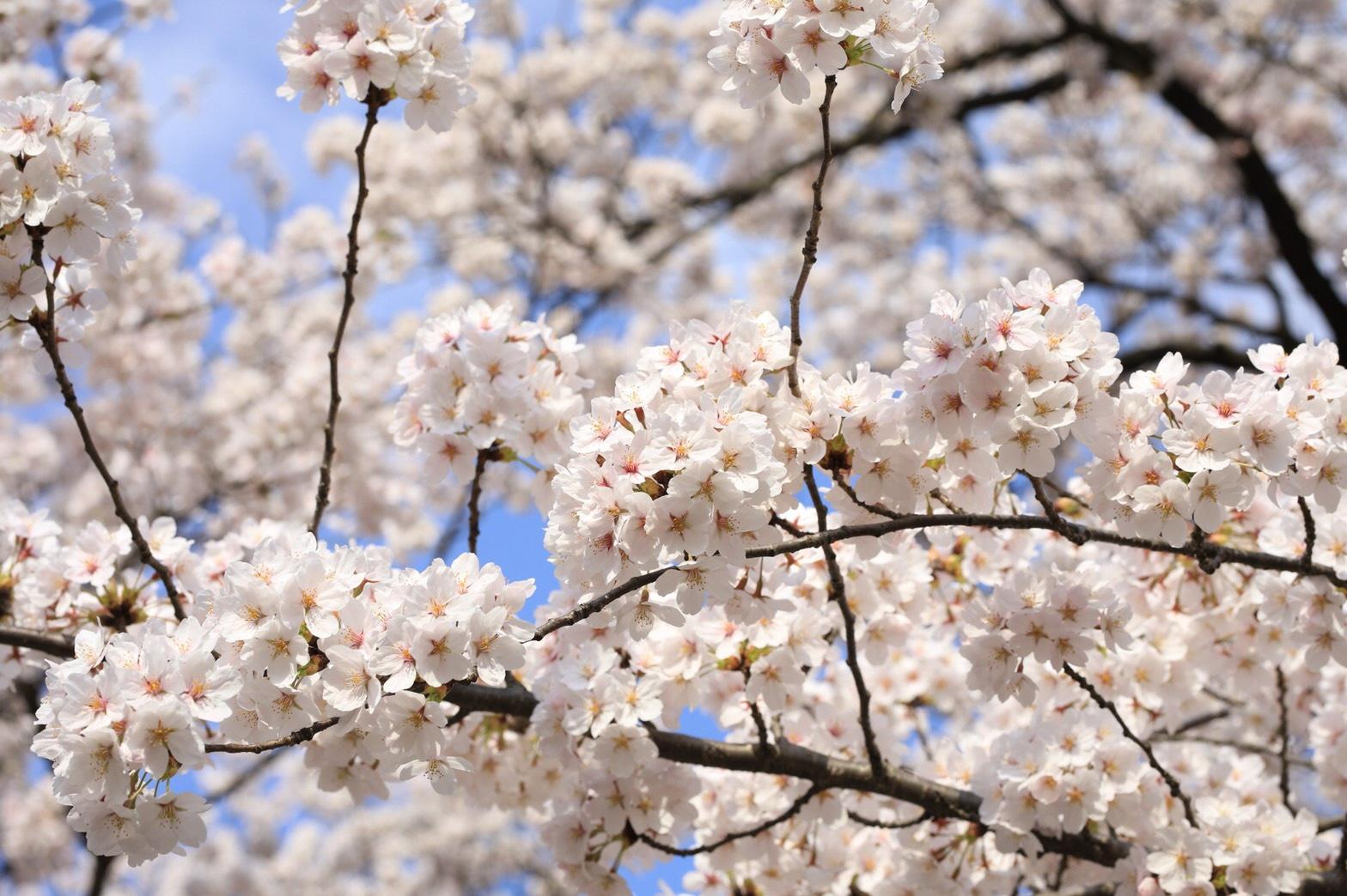 園内に咲くサクラの多くは「ソメイヨシノ」